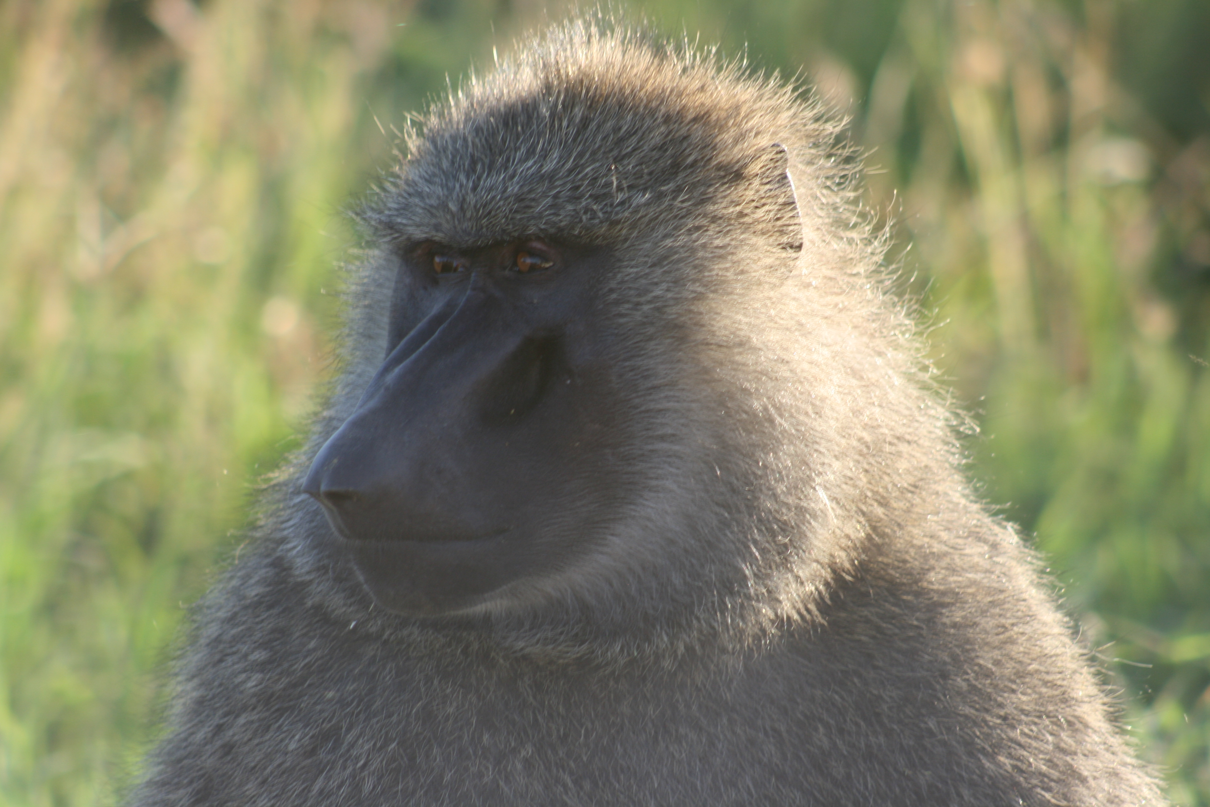This baboon looks a little sad as he's a monkey not an ape and can't join the Ape Awayday. Luckily, you are an ape so you can. Image copyright: Liz Kalaugher